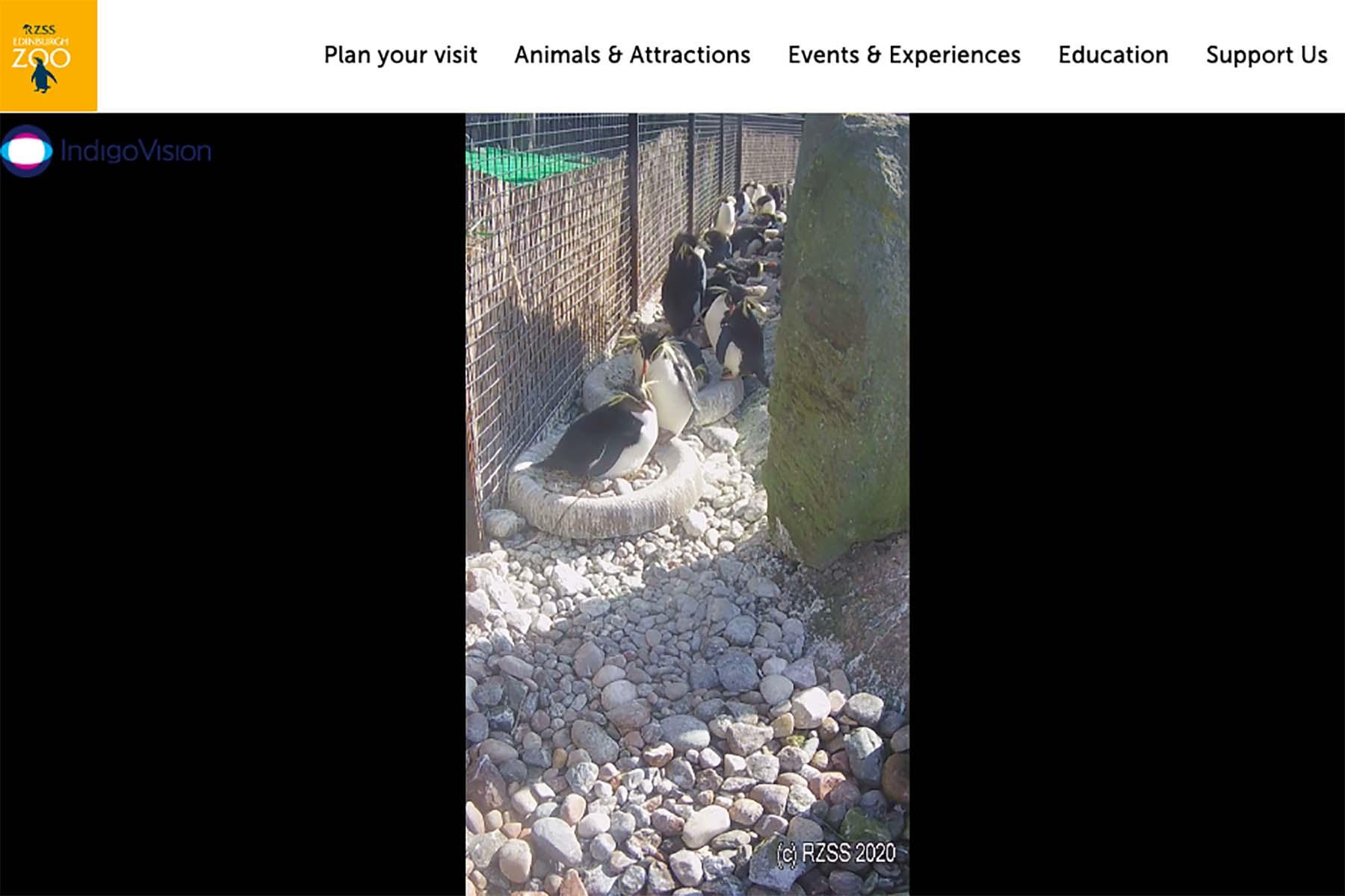 Edinburgh Zoo's Penguin Cam