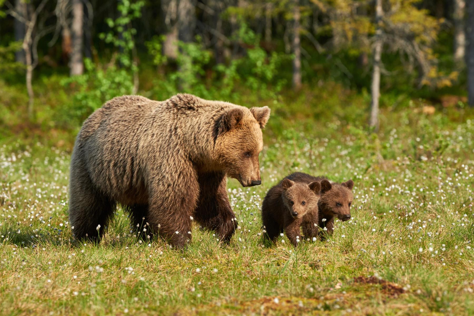 Sustainable tourism: bears in Wild Taiga, Finland
