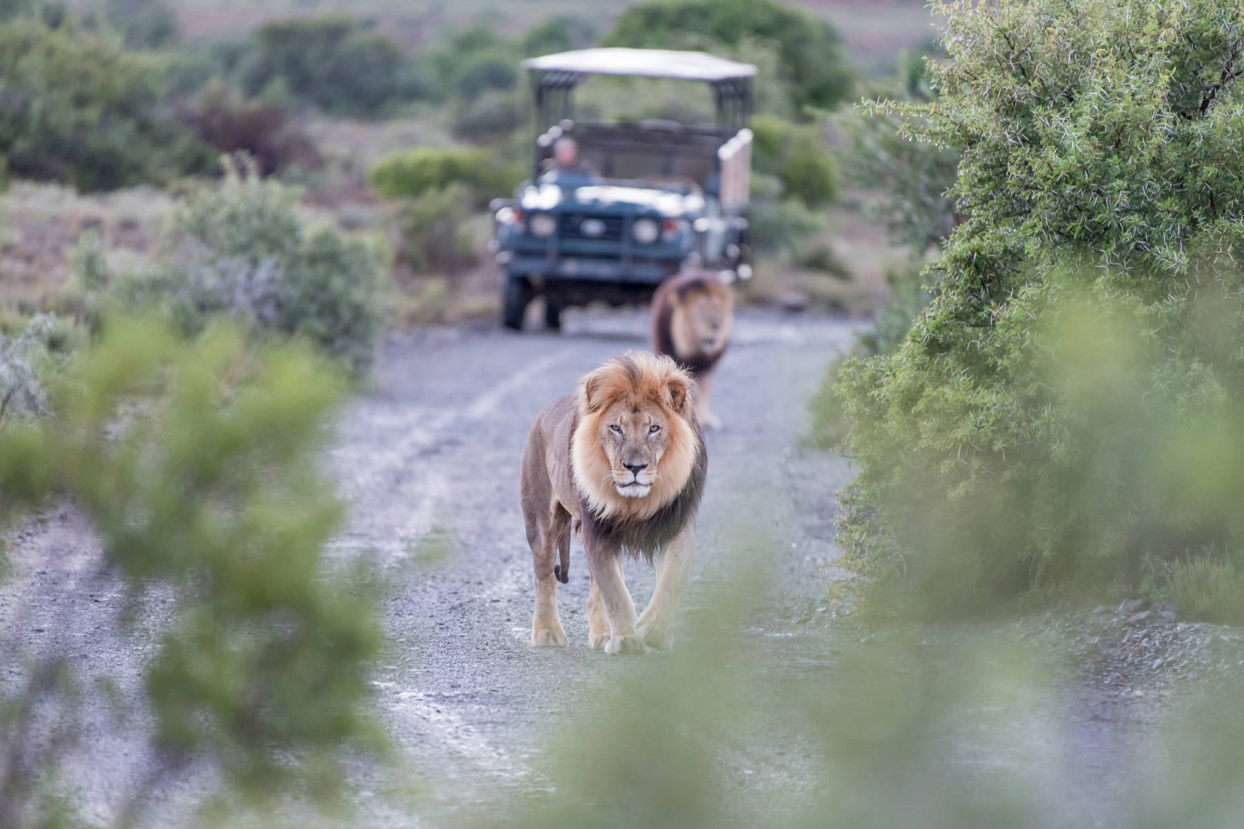 Lions on a safari in South Africa
