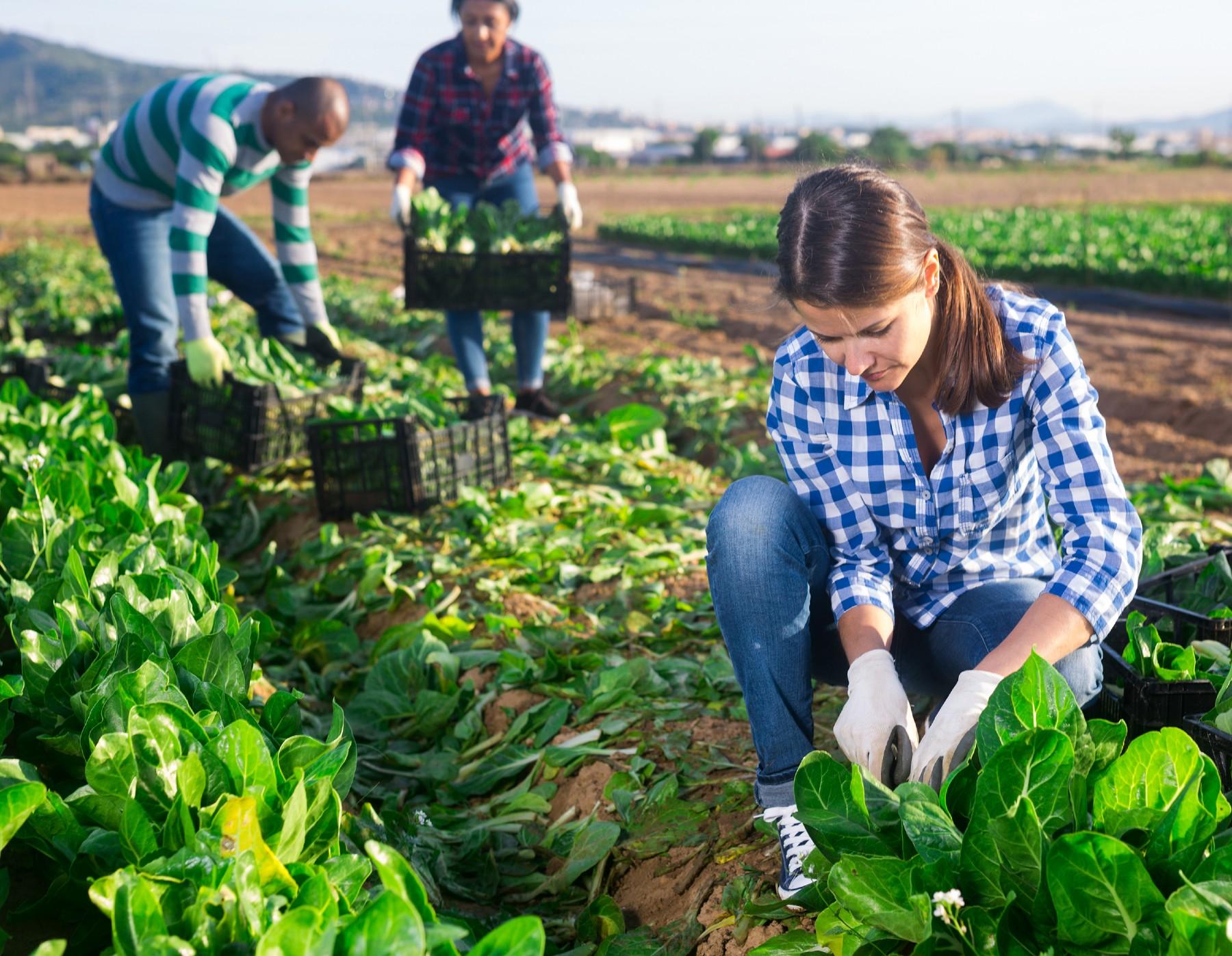 Woman working in a lettuce field in Spain