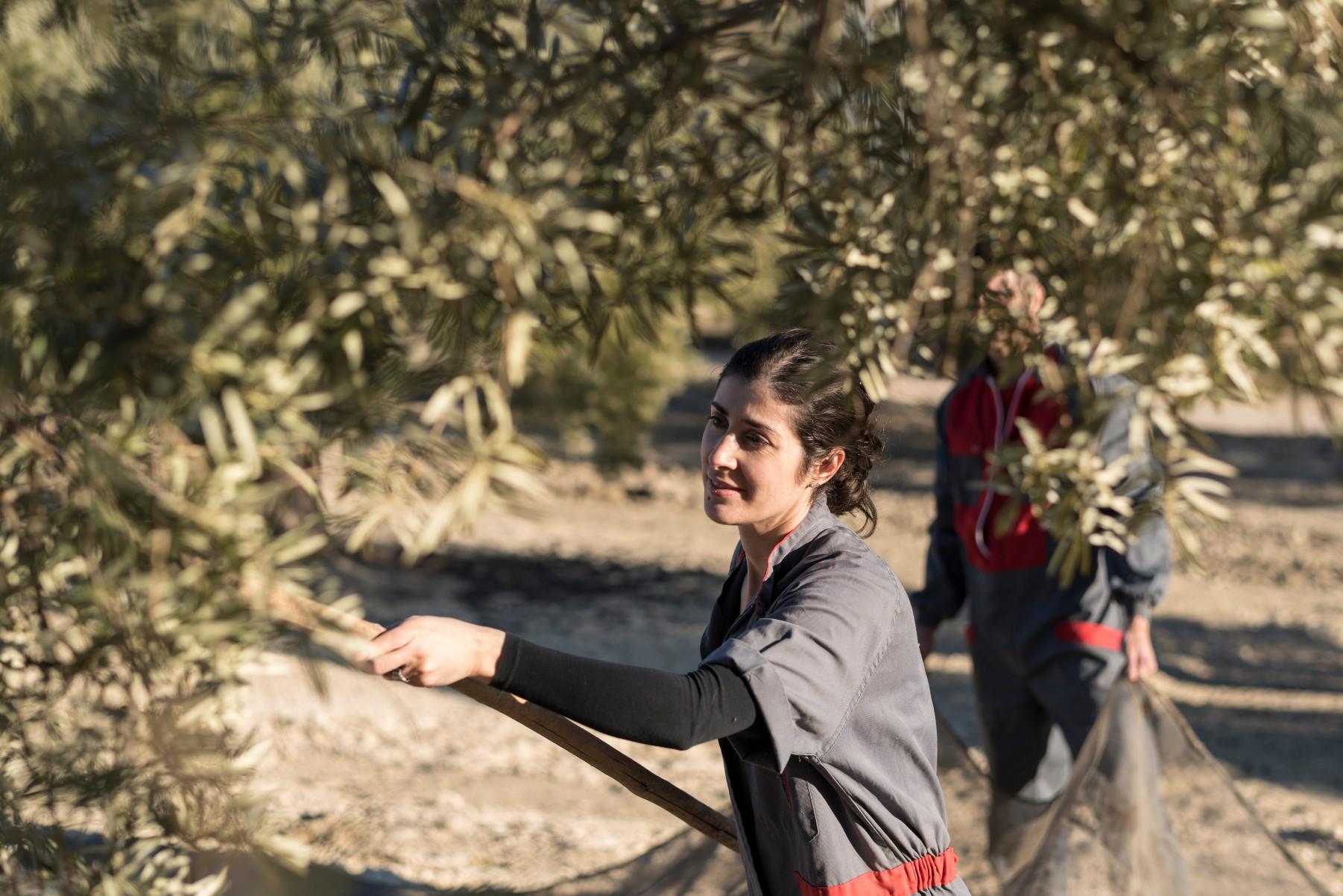 woman season worker harvests olives in Spain