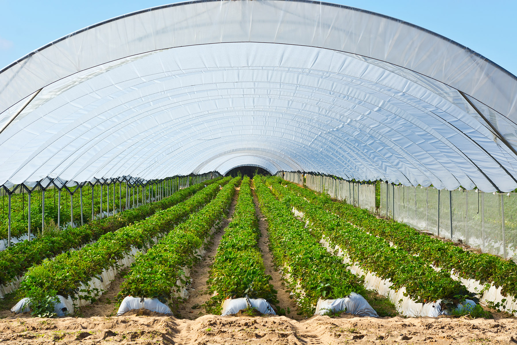 Strawberry greenhouse in Portugal