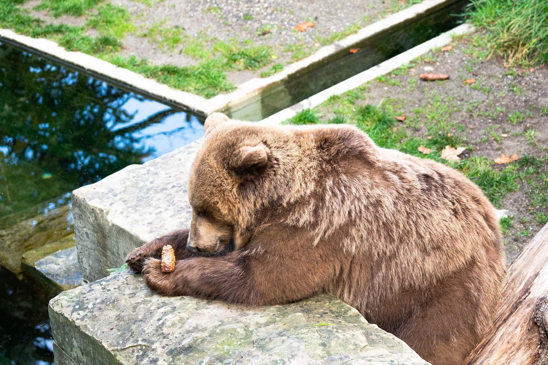 bears in Bern