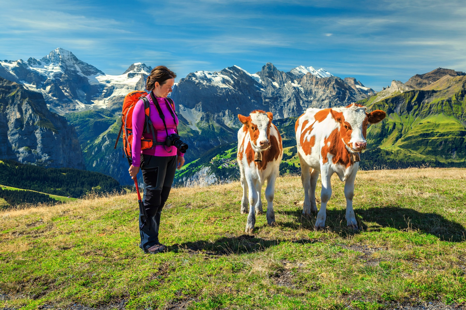Woman with cows in the Swiss Alps