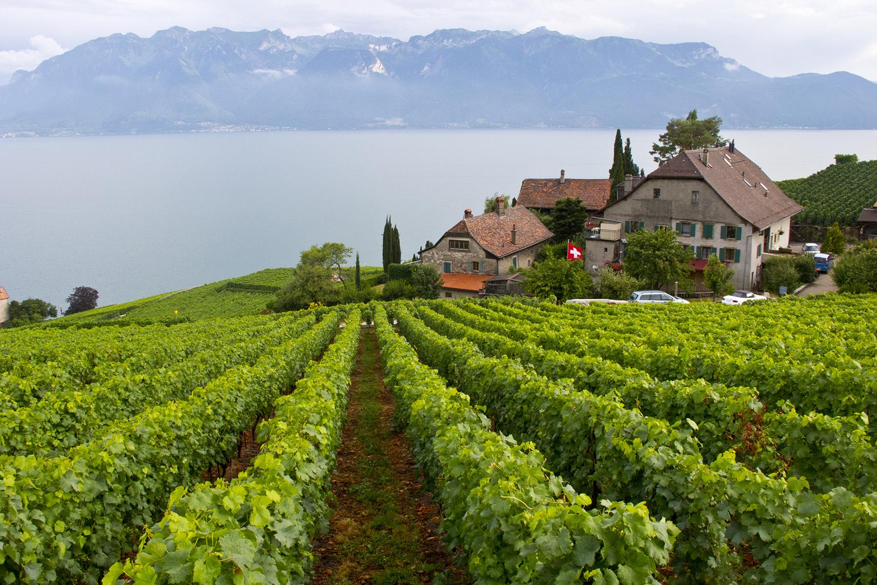 A vineyard in the Lavaux region