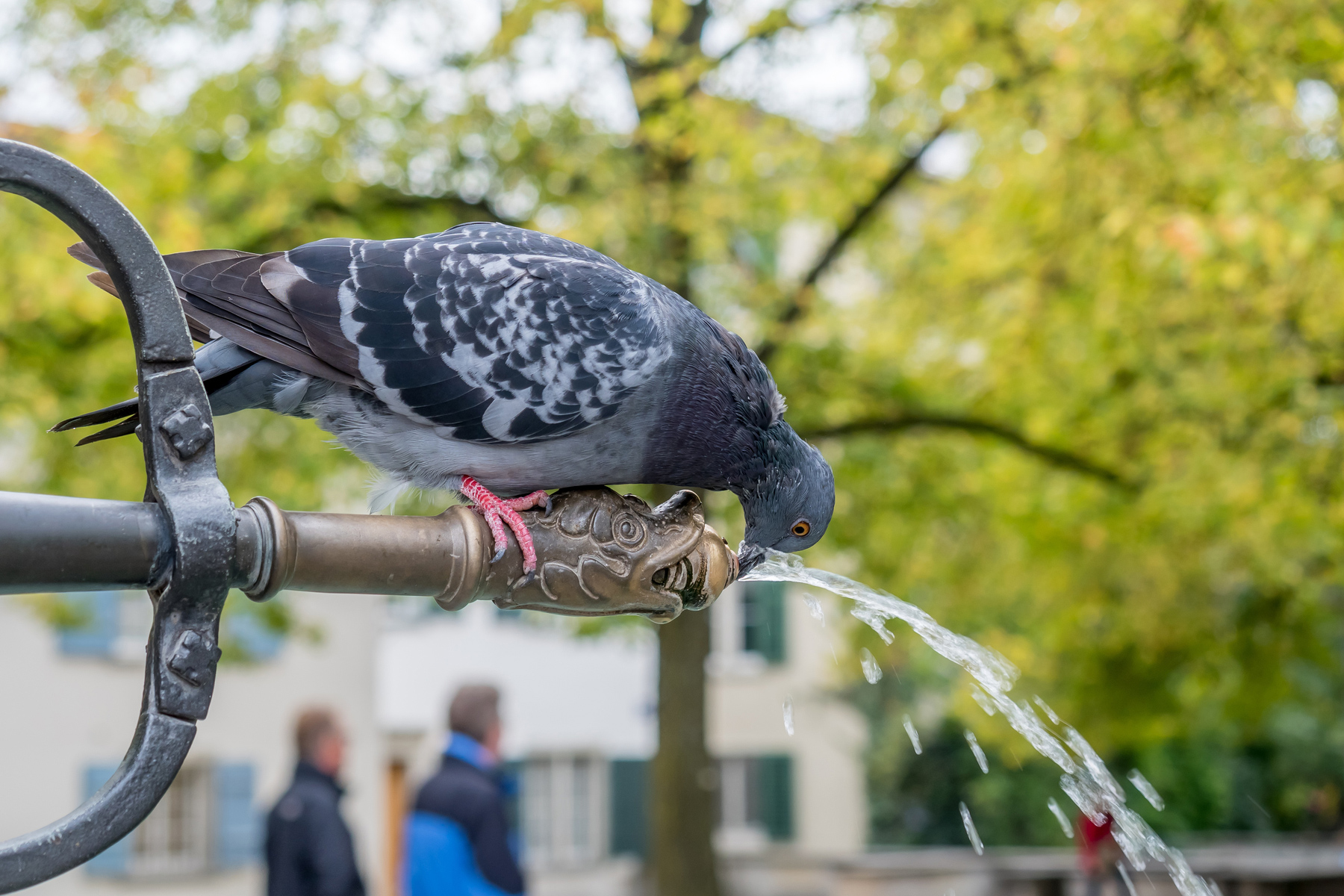 Pigeon drinking from a water fountain