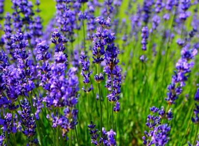 Viva Lavandula's lavender fields