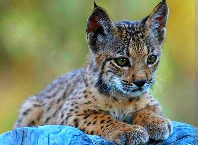 Spain succeeds in saving world's most endangered feline