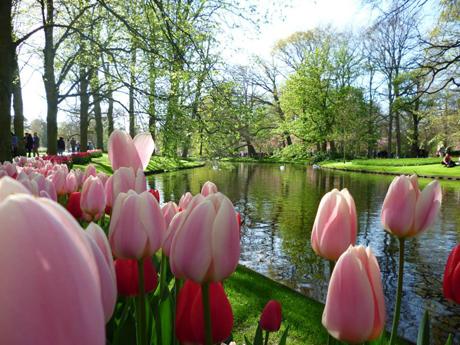 The Dutch tulip invasion