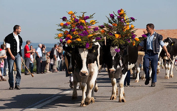 Festivals in Switzerland: Alpabfahrt or Désalpe