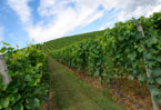 Climate change has silver lining for England's vineyards