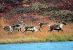 Global warming a growing threat to Arctic reindeer