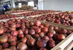 Afghanistan looks to squeeze new markets from pomegranates