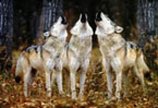 Appetite spells three wolves' doom in Switzerland
