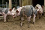 Concern over antibiotics use on animal farms