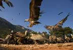 Hungry vultures get daily 'five-star' feast in Spain