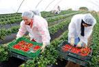 Unemployed Spaniards return to farm work