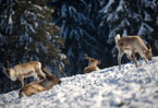 'Modern methods' pit reindeer herders against animal activists