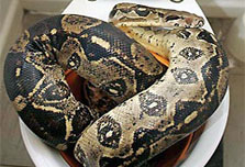It's.... a python in the toilet bowl