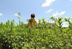 Stevia herb shakes up global sweetener market