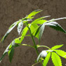 Battle against cannabis pointless