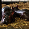 Twin hippos born in Dutch zoo