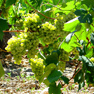 Spanish vineyards may move to high ground