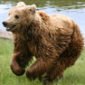 Bears worry experts by raiding villages