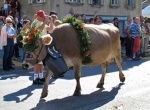 Summer holidays are over – for Swiss cows