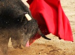 Bullfighting: not just for the Spaniards